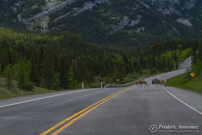 27 big horn sheeps crossing road