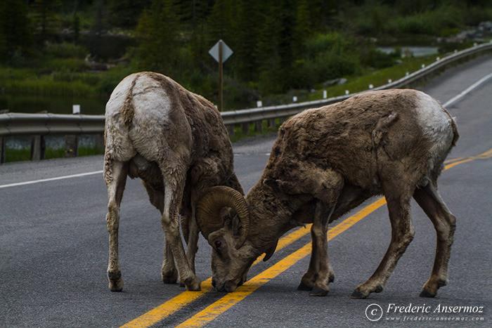 28 big horn sheeps on road
