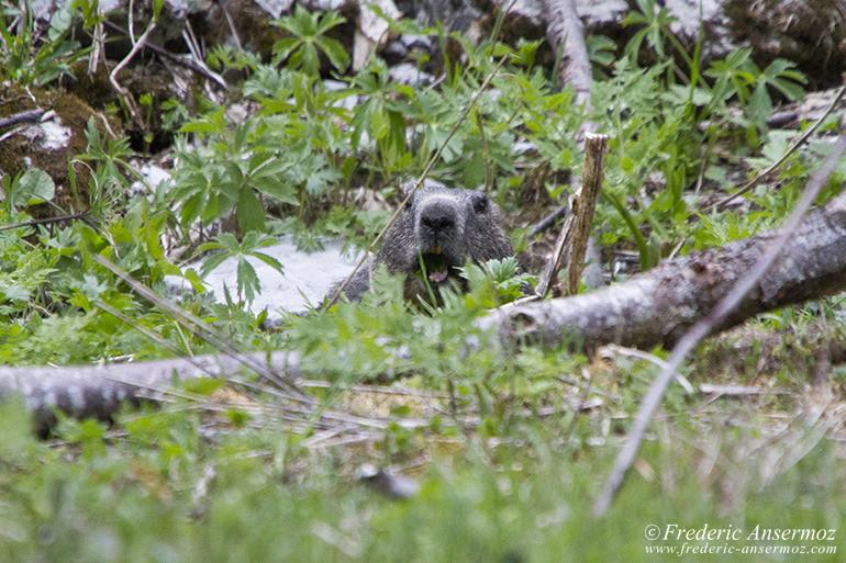 Vanil noir marmotte 19