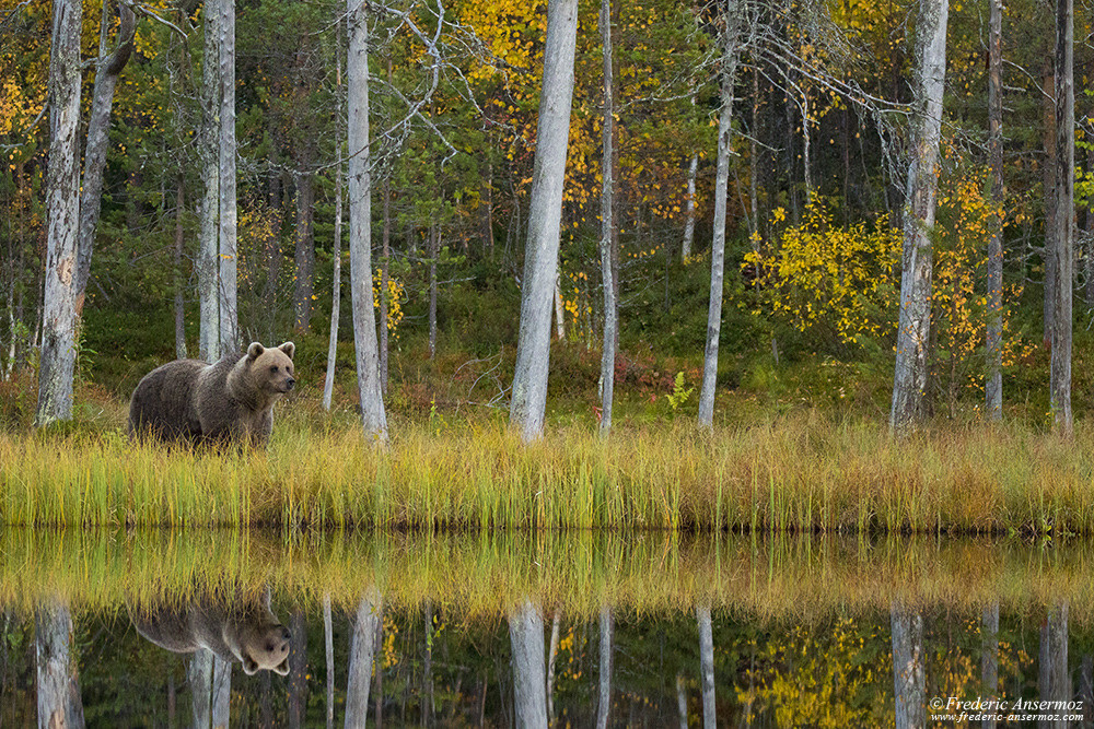 Brown bear watching in Finland, Kuhmo