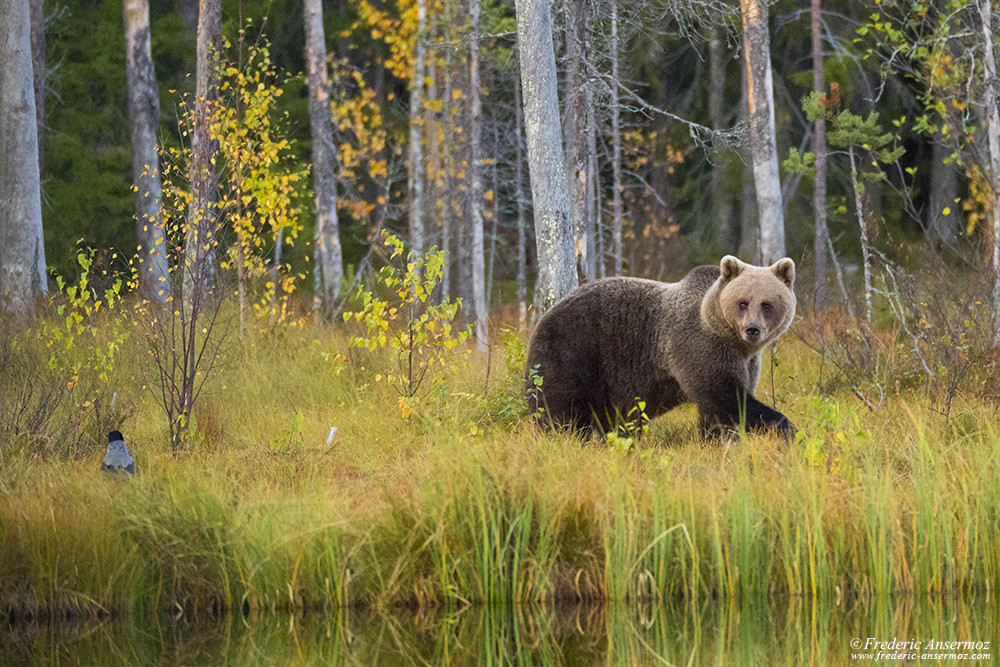 Brown bear in Kuhmo, Wildlife of Finland