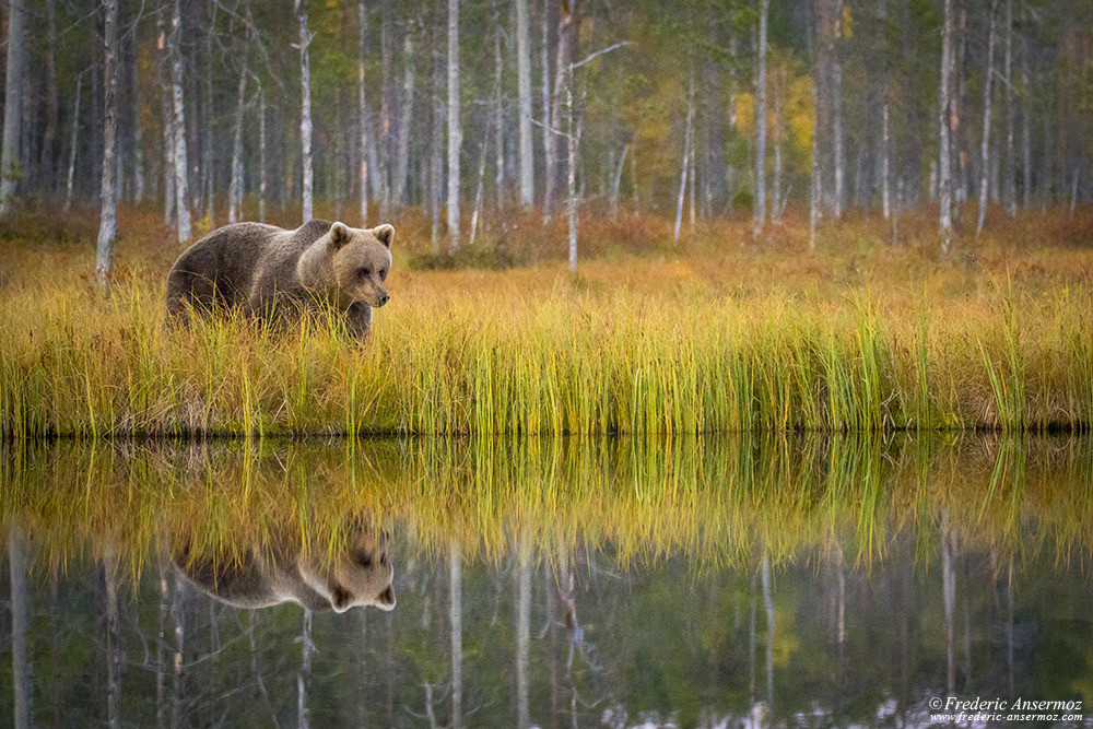 Wildlife watching in Finland, brown bear