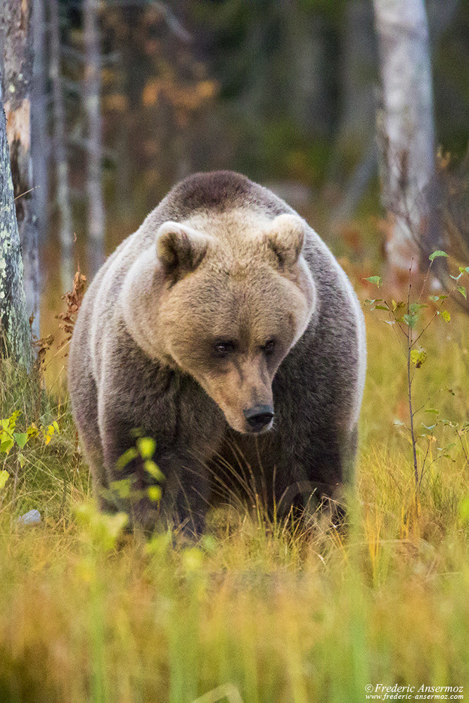 Wild brown bear portrait, Wildlife of Finland
