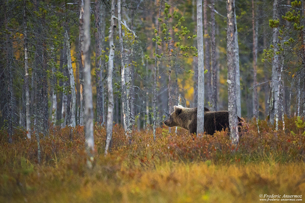 Wildlife photography in Finland, brown bear in the wild