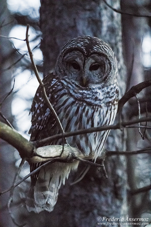 Barred owl branch