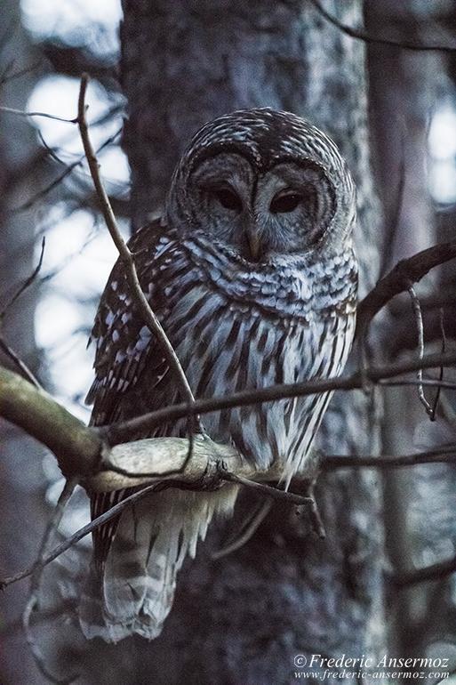 barred-owl-branch