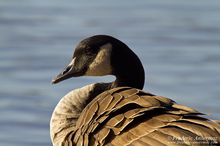 canadian-goose-portrait