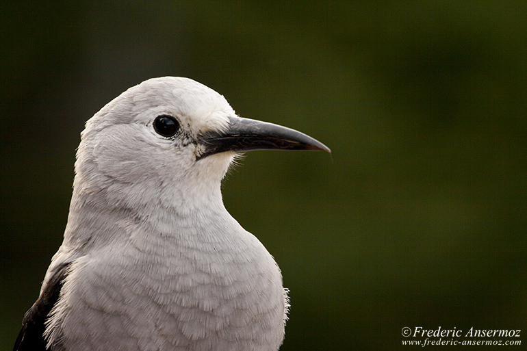Clark nutcracker bird portrait