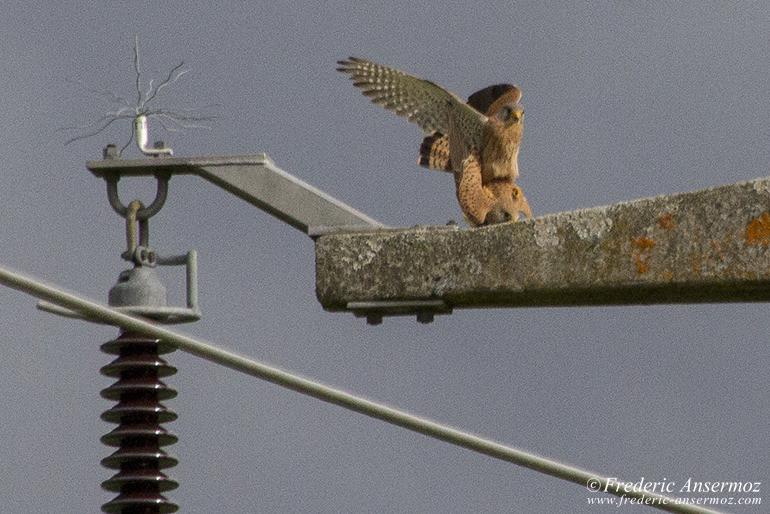 falcon-mating