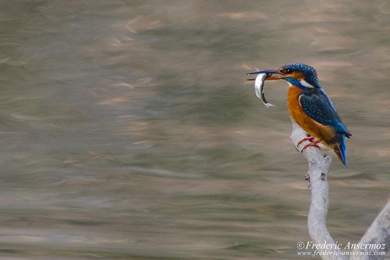 kingfisher-fish