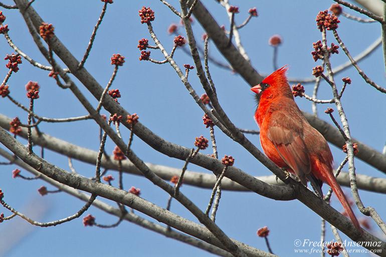 northern-cardinal
