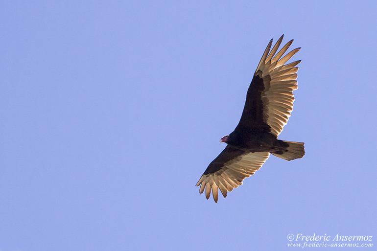 turkey-vulture-quebec