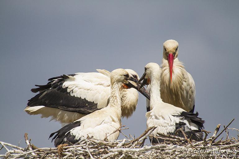 white-stork-nest