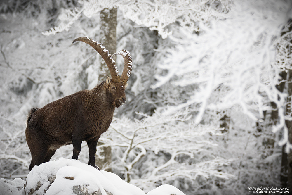 Alpin ibex of Creux du Van, male in Winter