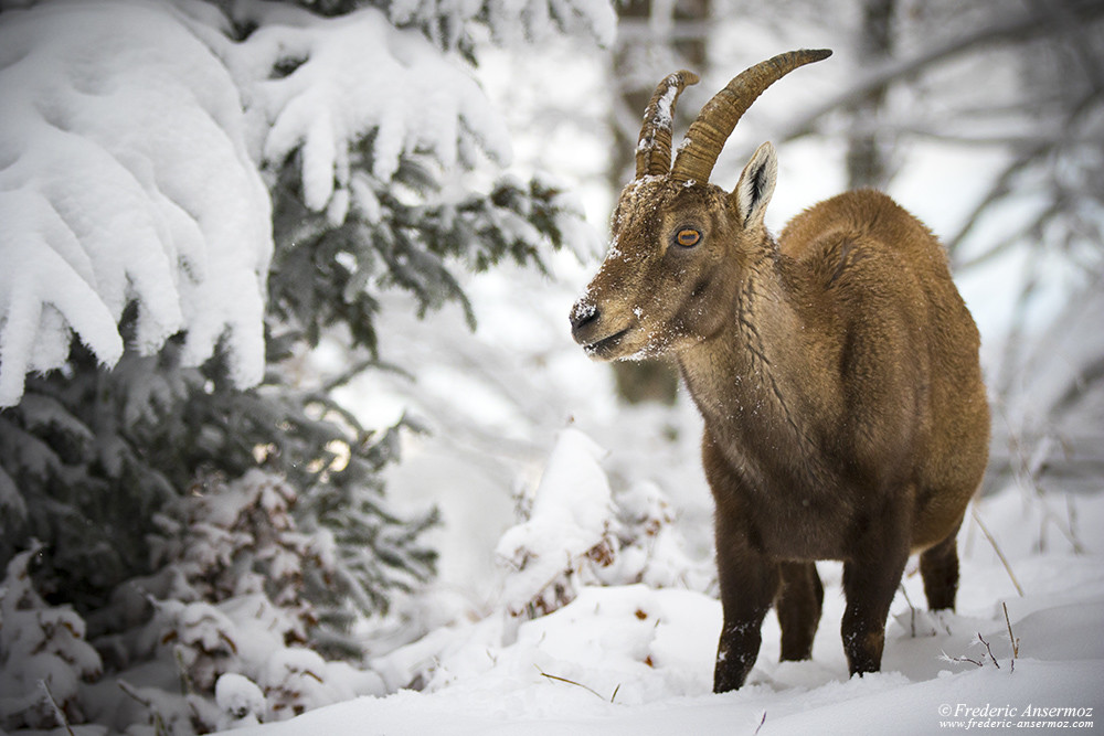 Female Alpine ibex, mountain goat, Switzerland