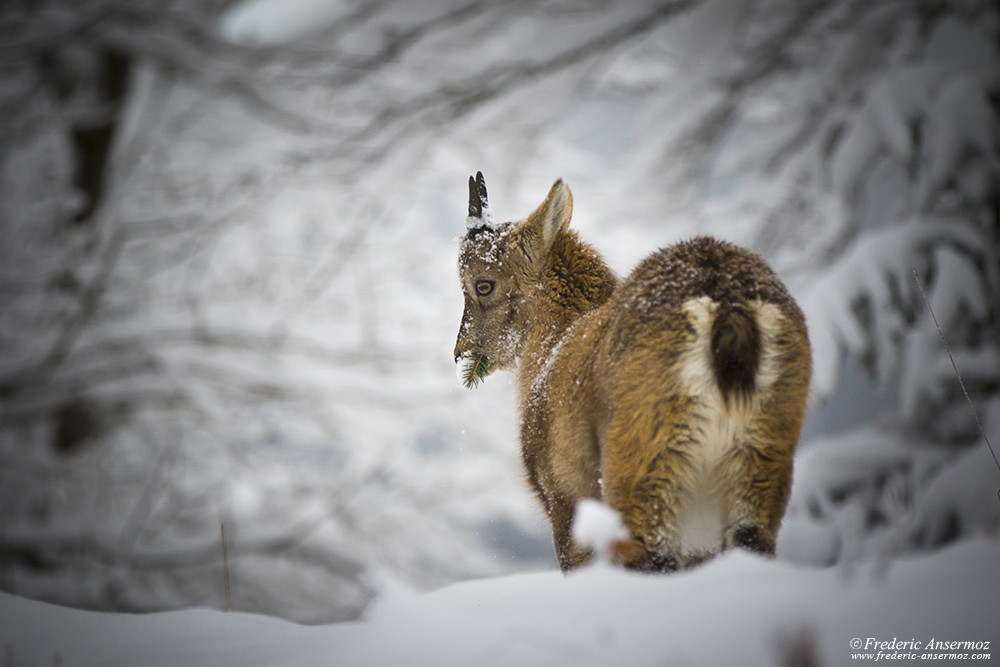 Alpine ibex eating during Winter, Creux du Van