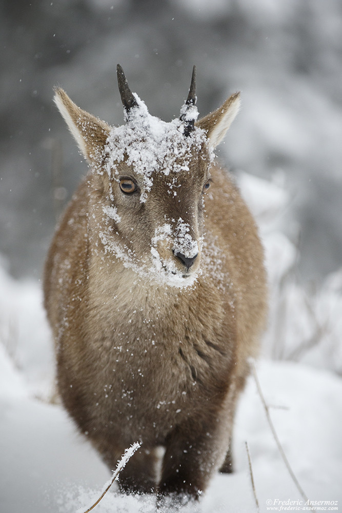 Young mountain goat, alpine ibex in the snow
