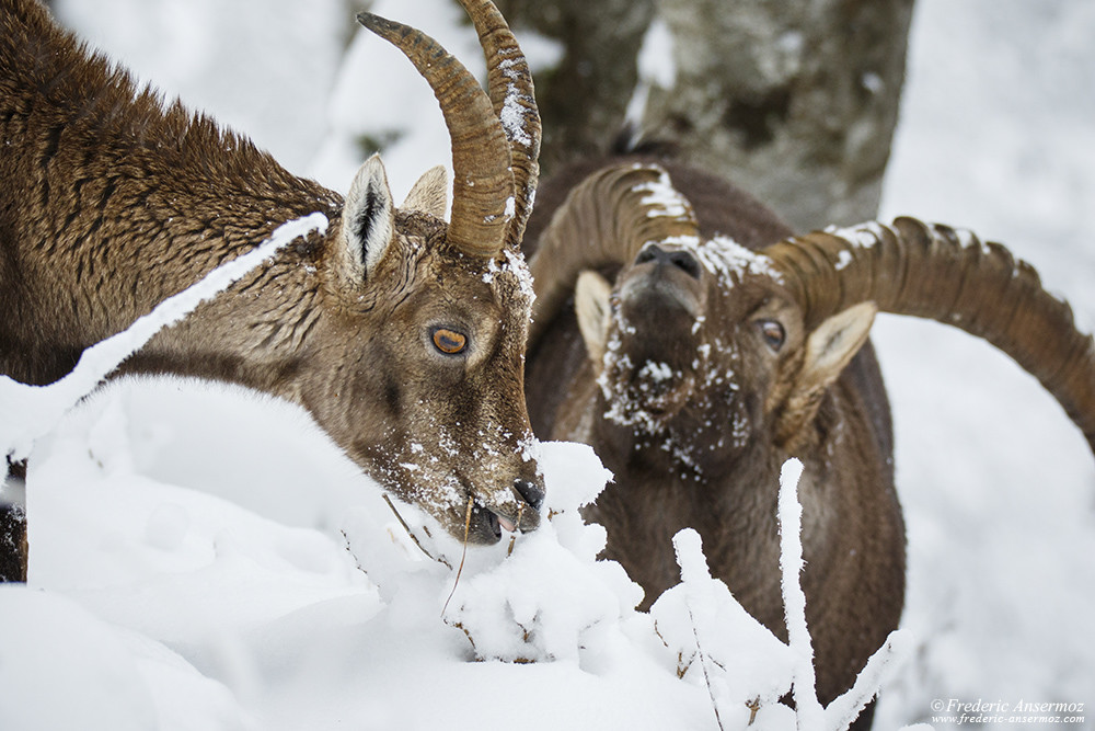 Mating season for alpine ibexes, Creux du Van