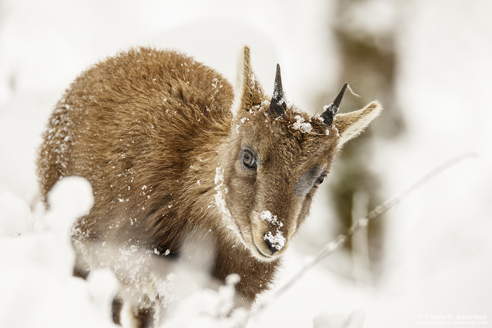 Young ibex in the snow, Winter in Switzerland