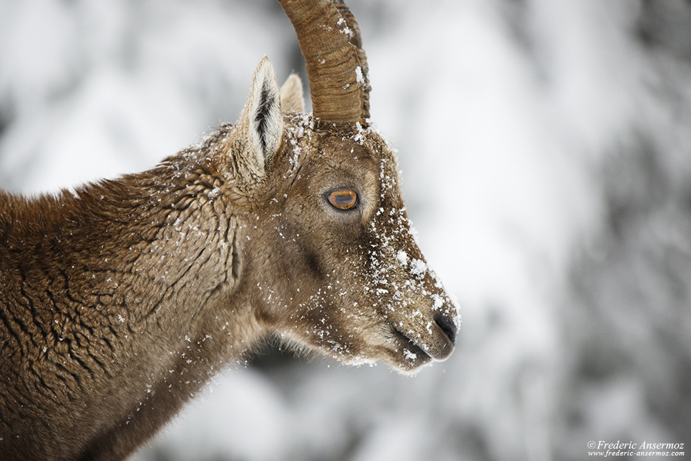 Female ibex portrait, Creux du Van, Switzerland