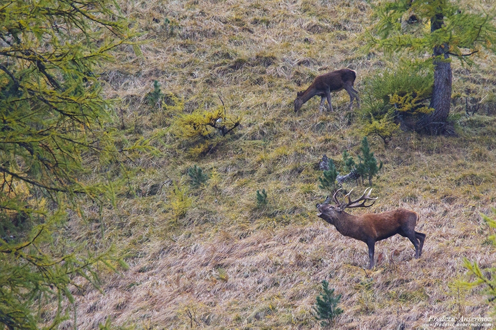 Red deer stag trying to impress a female nearby