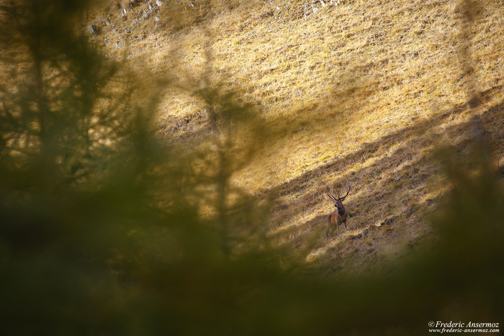 Red deer stag roaring in the mountains, watch Wildlife