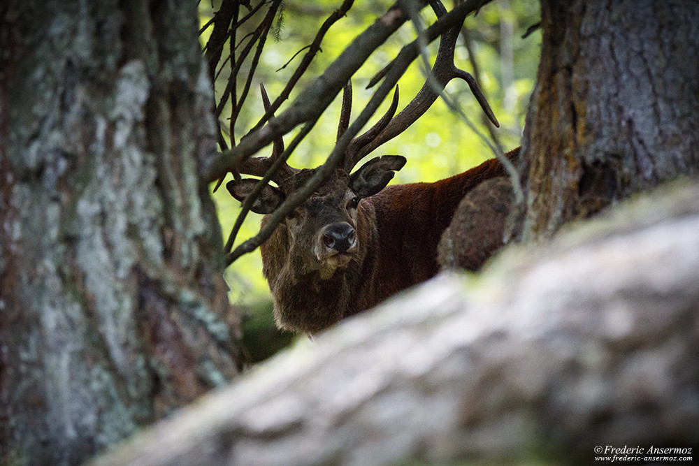 Red deer stag in the forest, Wildlife Photography