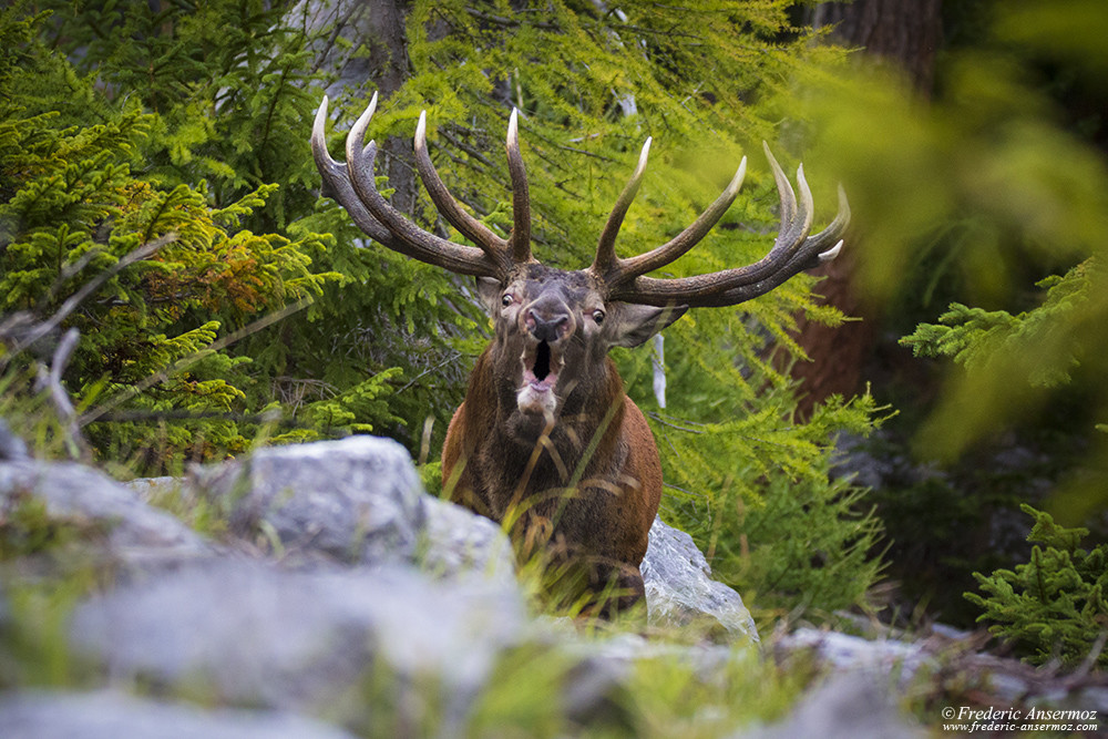 The impressive red deer stag's roar, few meters away