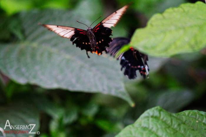 butterfly flying shot, Rumanzovia swallowtail photography