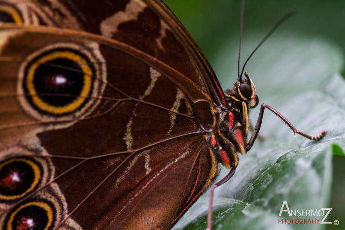 blue morpho butterfly on leaf