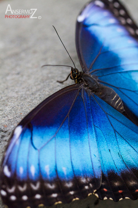Blue morpho butterfly macro photography, with open wings