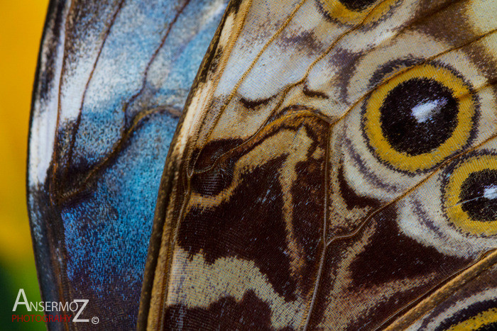 Blue morpho wings macro photography