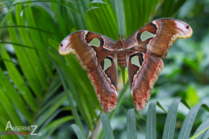 Cobra moth on tropical leaves