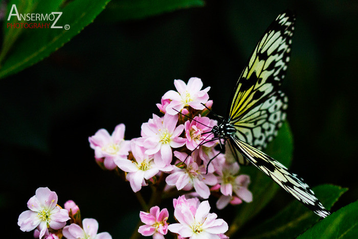 Rice paper butterfly landing on flower