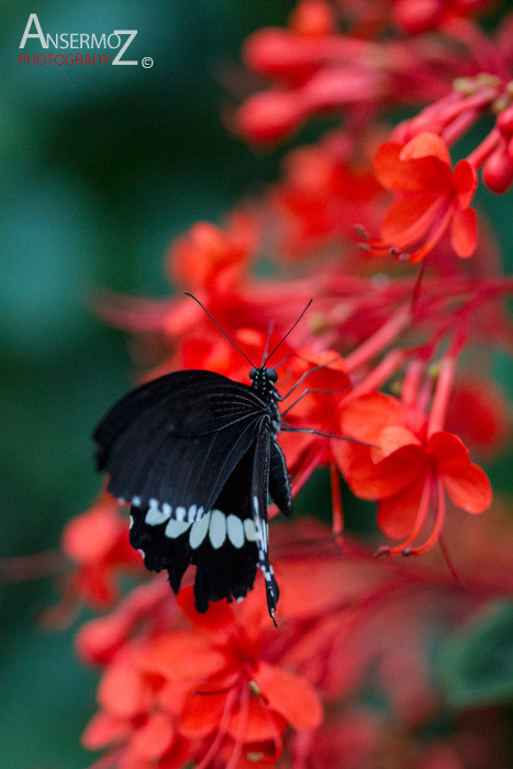 Common Mormon on red flower, on macro image