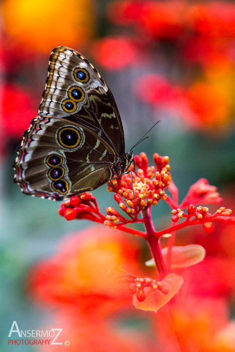 Peleides Blue morpho butterfly photography