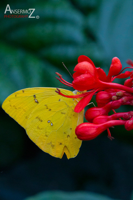 Orange barred sulphur