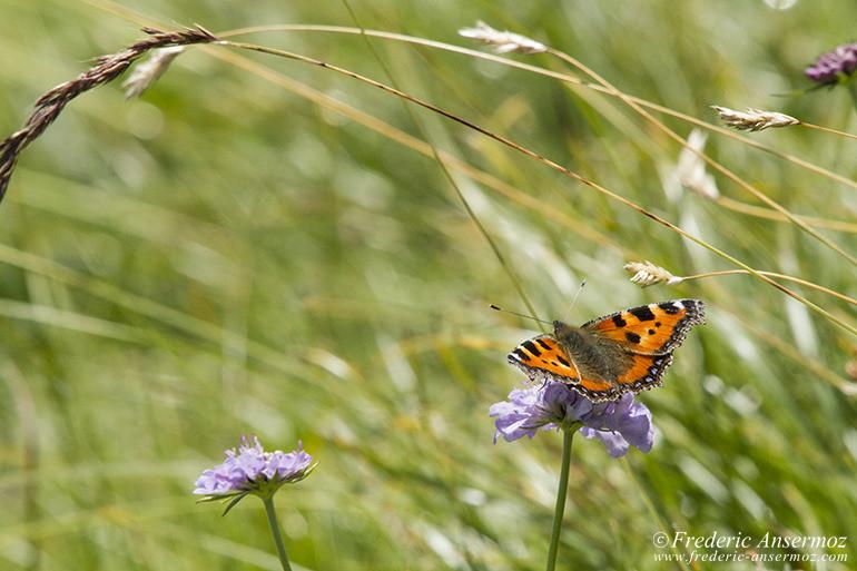 06 papillon sur herbe