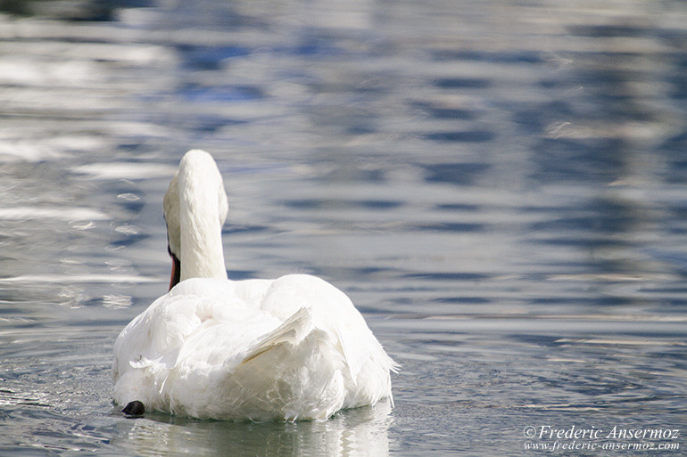 17 cygne blanc lac leman