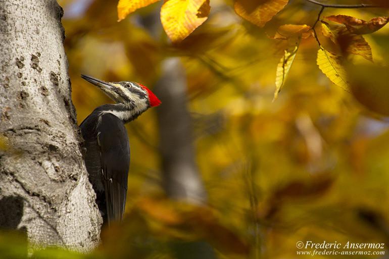 pileated-woodpecker