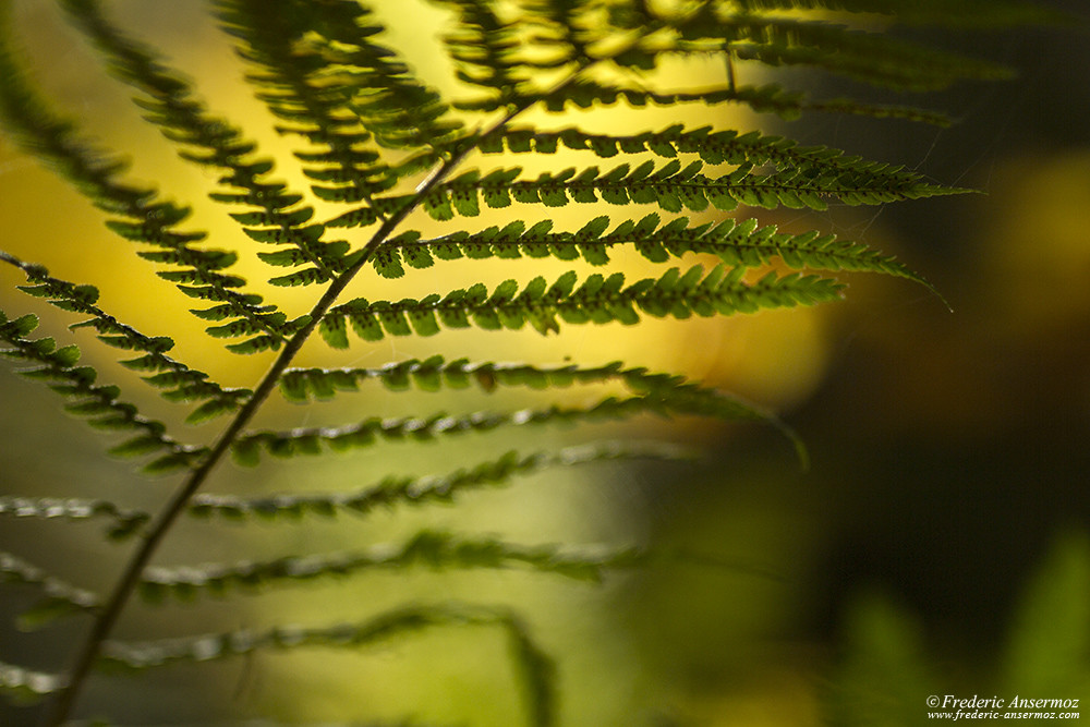 Bracken with its spores, fern closeup