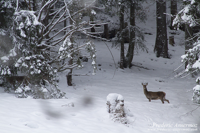 Cerfs neige montagne