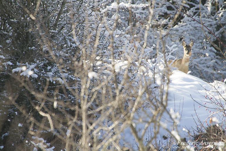 chevreuil-neige-hiver