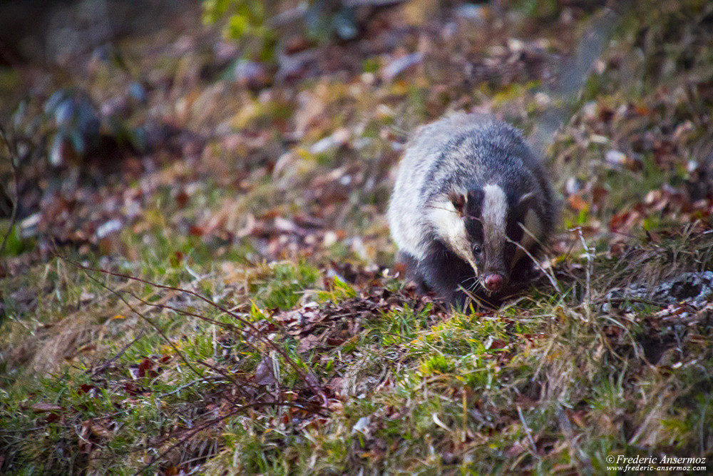 Badger looking for food