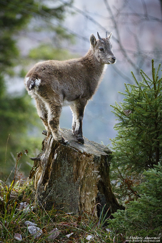 Alpine Ibex, young ibex on a stump