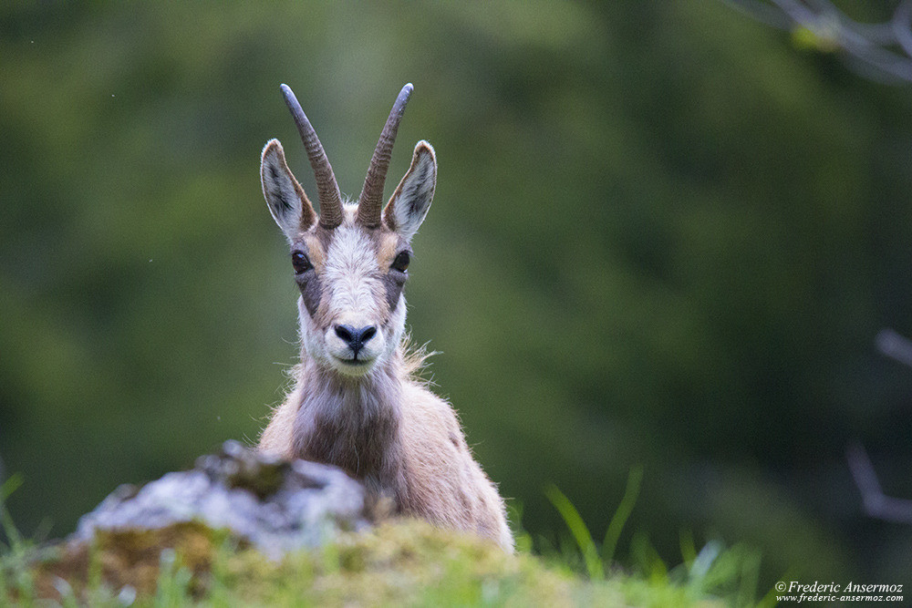 Chamois portrait, Swiss Wildlife