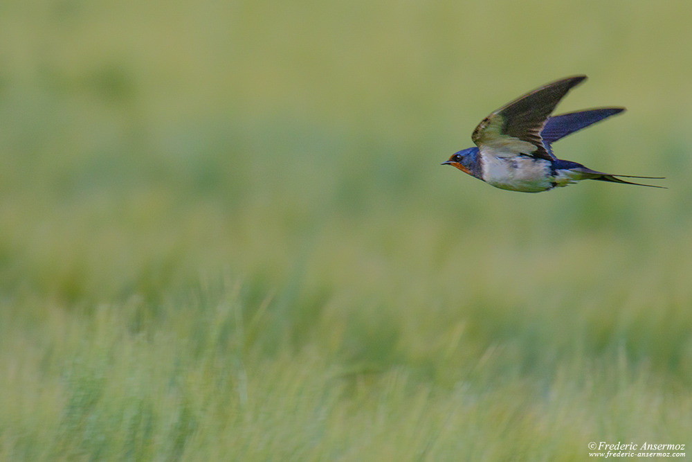 Swallow flying close to the ground