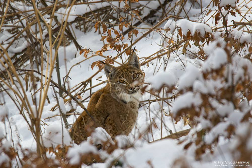 Young lynx in Switzerland, in the snow