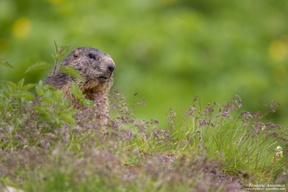 Marmot among flowers in the mountains