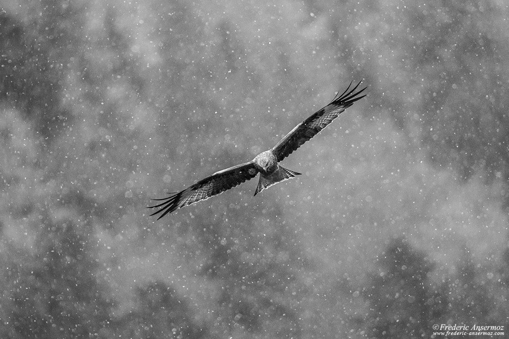 Red Kite flying while snow falling